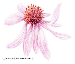 echinacea エキナセア