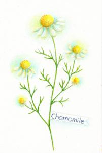chamomile_2015_03_21_02_s