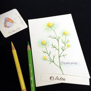 chamomile_2015_03_21_03_s カモミール