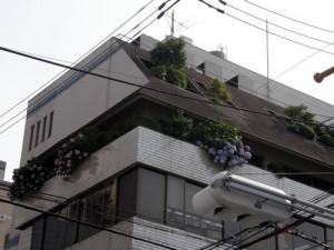 ビルの5階の紫陽花