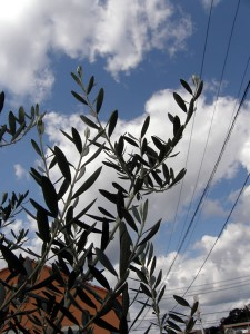 秋の空とオリーブ